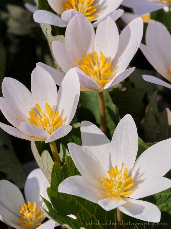 bloodroot-bunch