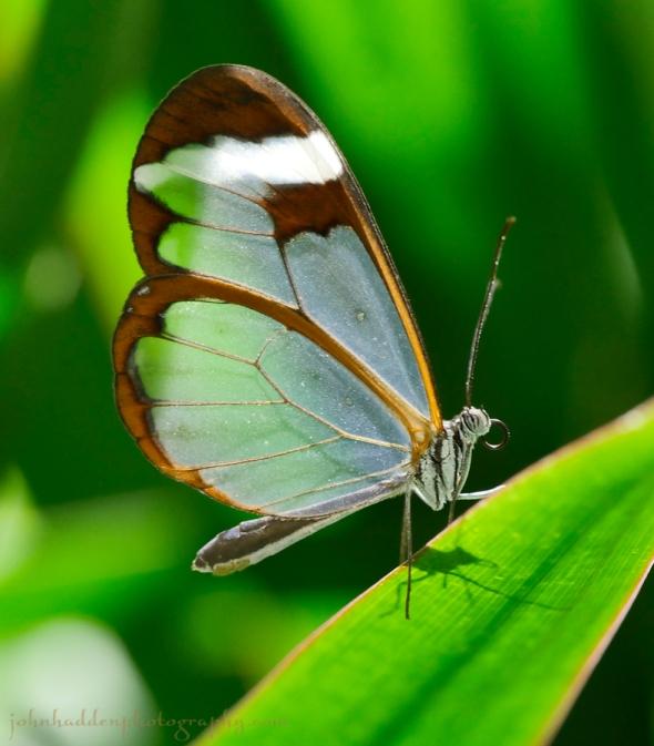 clearwing-butterfly
