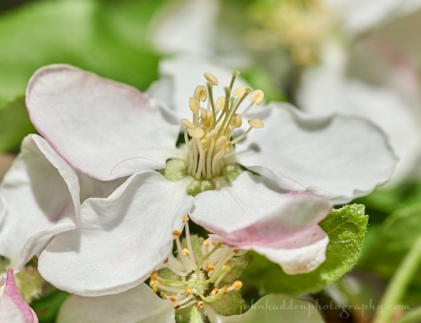 apple-blossom-close