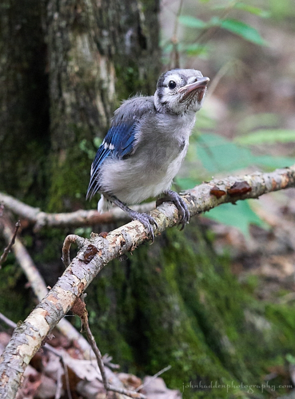 bluejay-fledgling