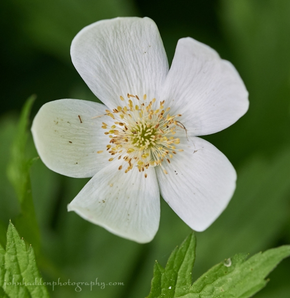 Canadian-anemone