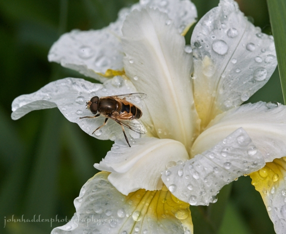 fly-white-iris