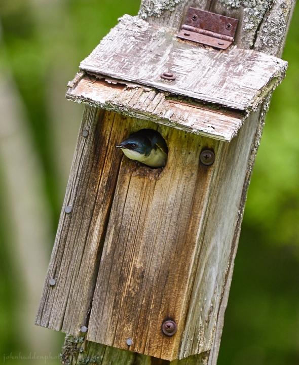 tree-swallow-box