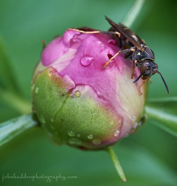 wasp-peonie