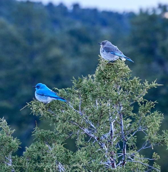 western-bluebirds