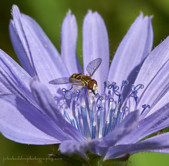 chickory-hoverfly