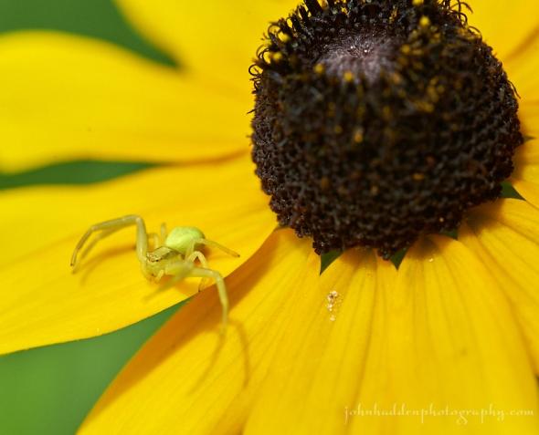 crab-spider-suzan