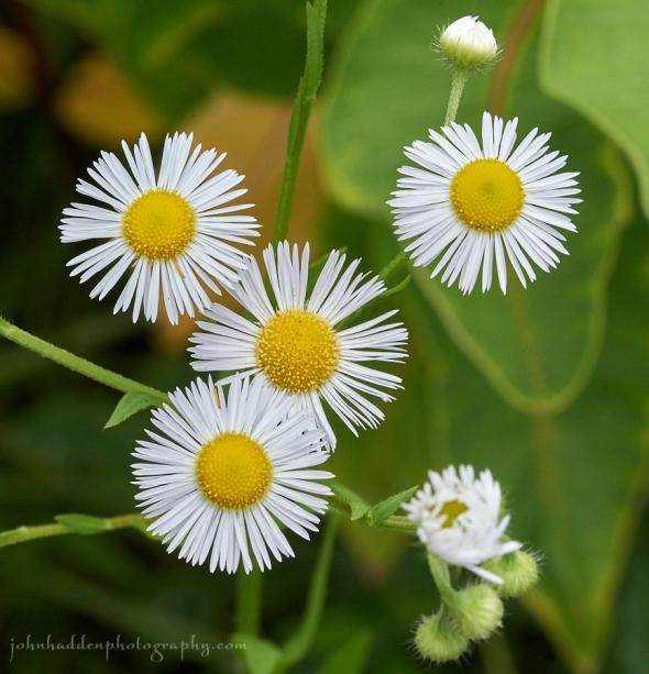 daisy-fleabane