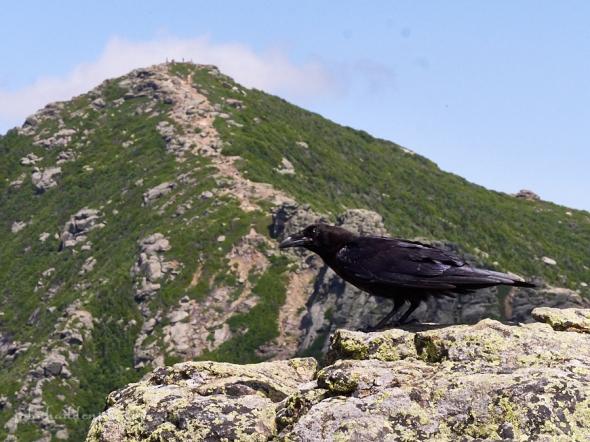 franconia-raven