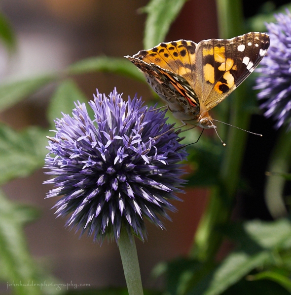 painted-lady-thistle