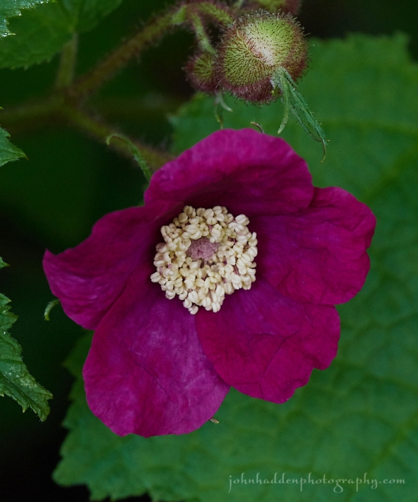 purple-flowering-raspberry