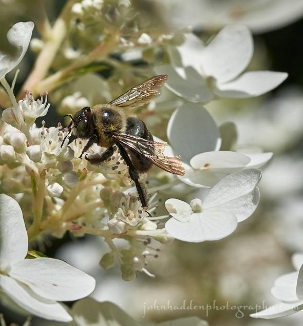 carpenter-bee-hydrangea