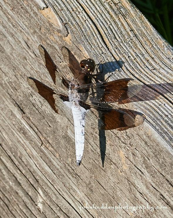 common-whitetail