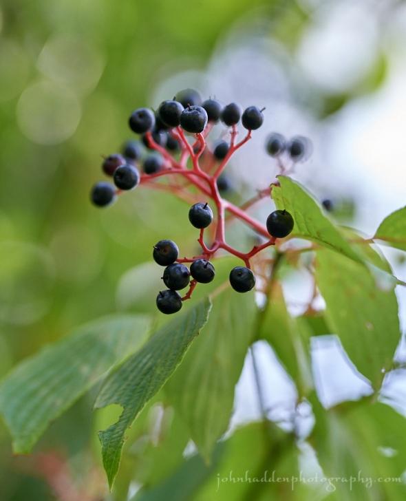 dogwood-berries