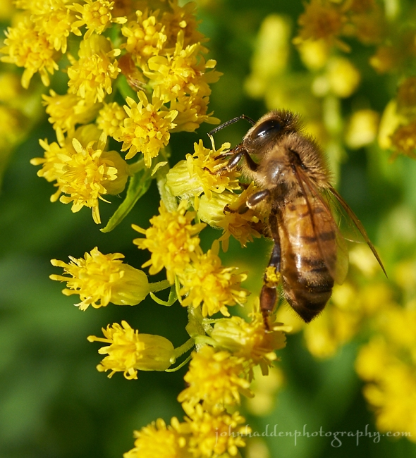 honey-bee-goldenrod