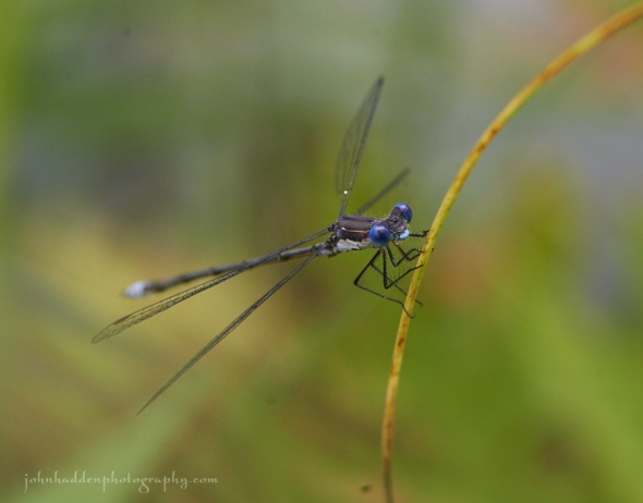spotted-spreadwing