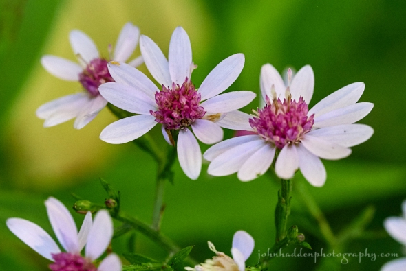 heart-leafed-asters