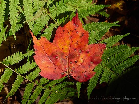 leaf-fern