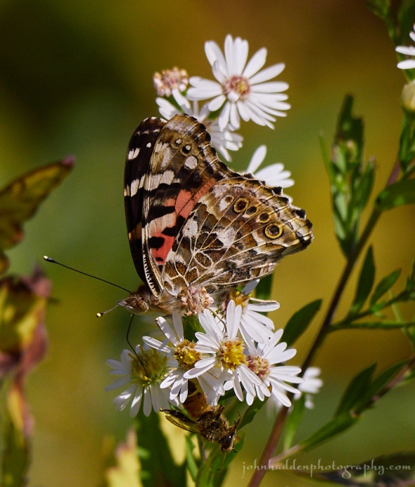 painted-lady-bee-spider