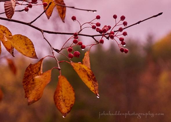 ash-berries-rain