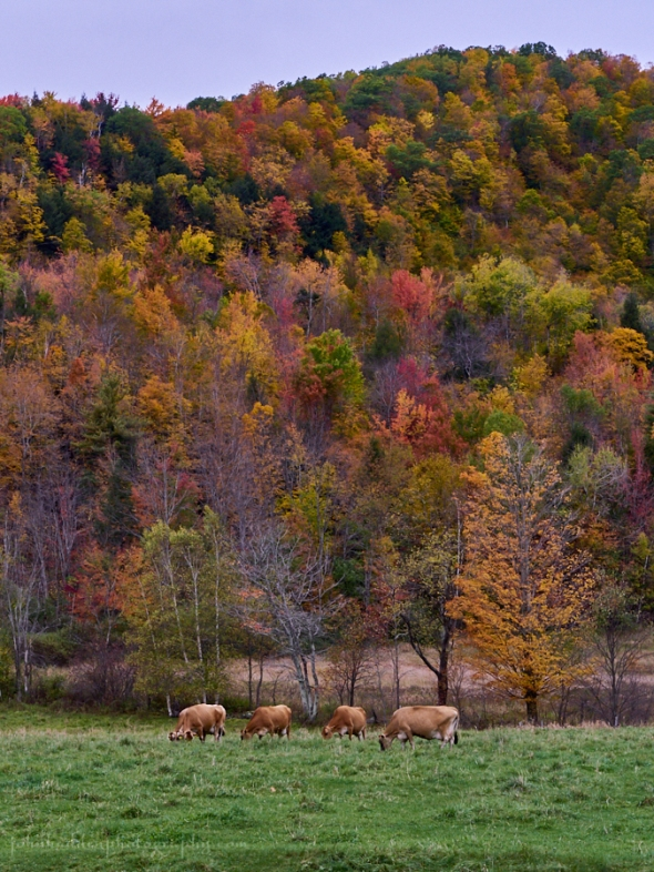 four-heifers-foliage