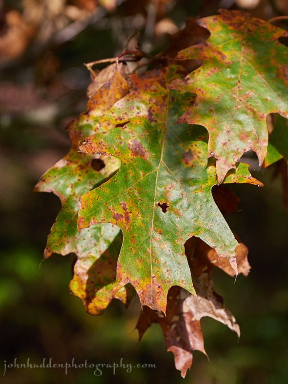 oak-leaves-rusting