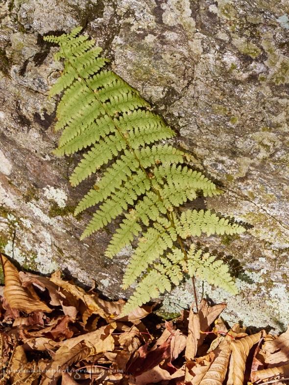 wood-fern