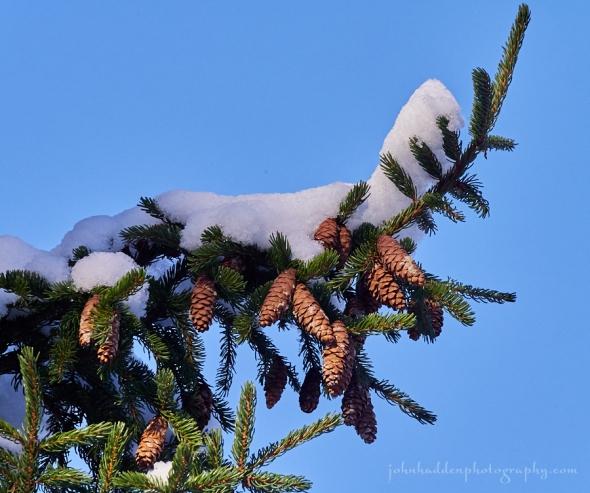 snow-sruce