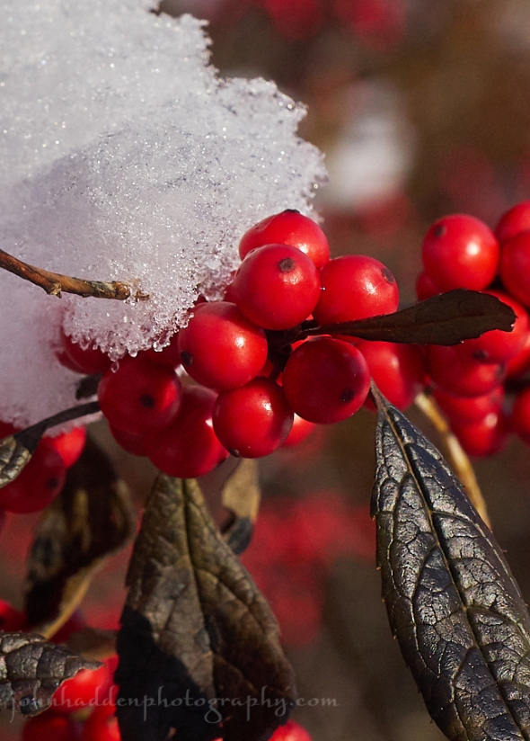 winterberry-snow