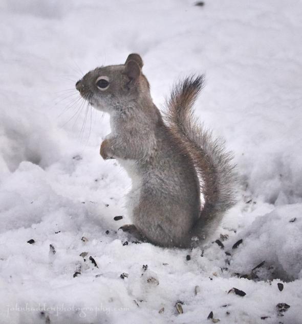 tawny-squirrel