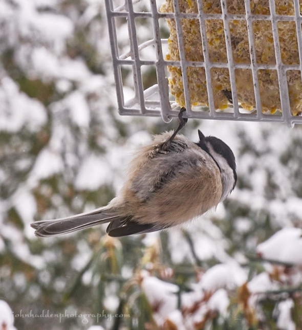 chilly-chickadee