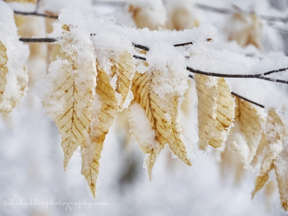 beech-leaves-snow