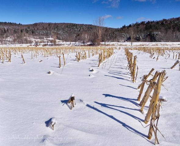 corn-stubble-snow