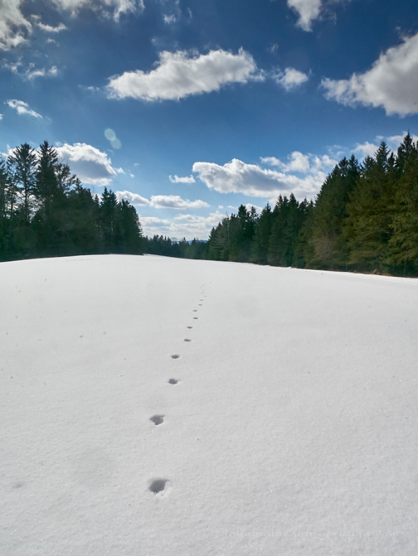 coyote-tracks-snow