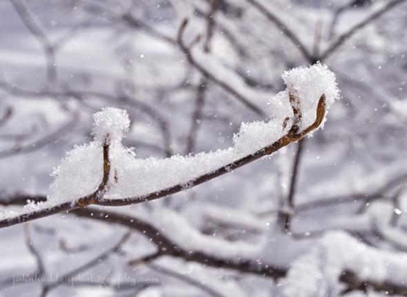 hobblebush-snow