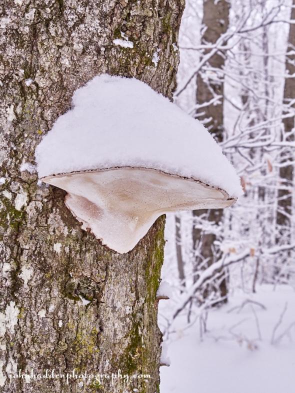 shlf-fungus-snow