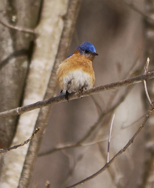 bluebird-3-23-18