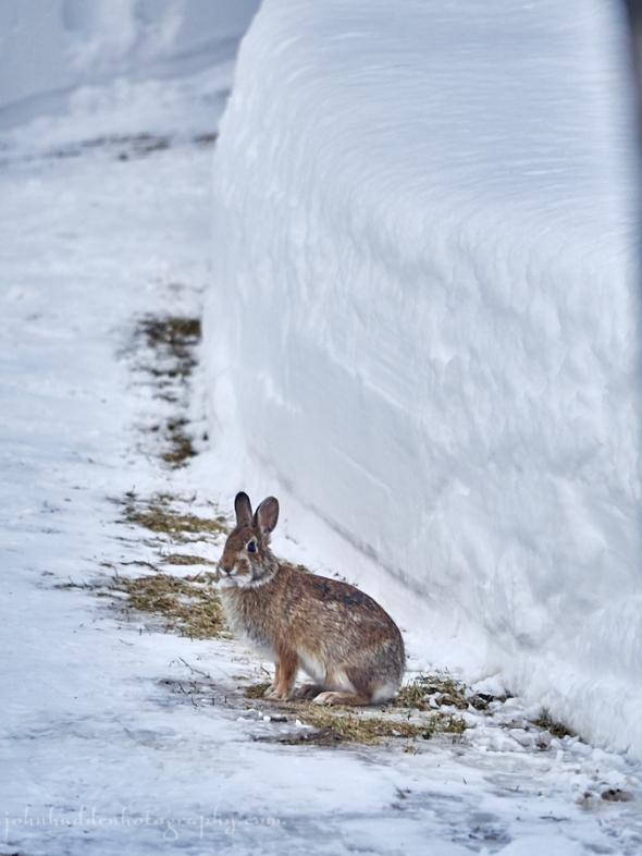 bunny-snowbanks