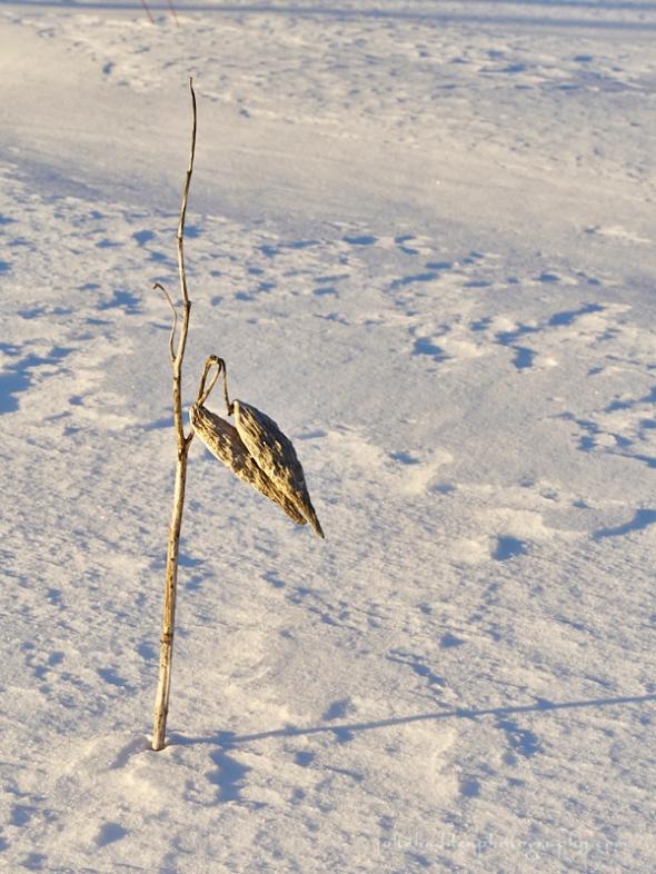 milkweed-snow