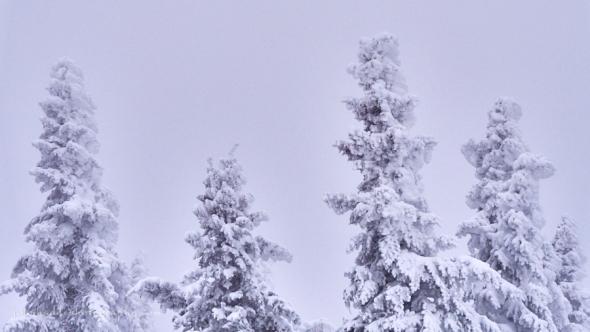 rimed-spruce