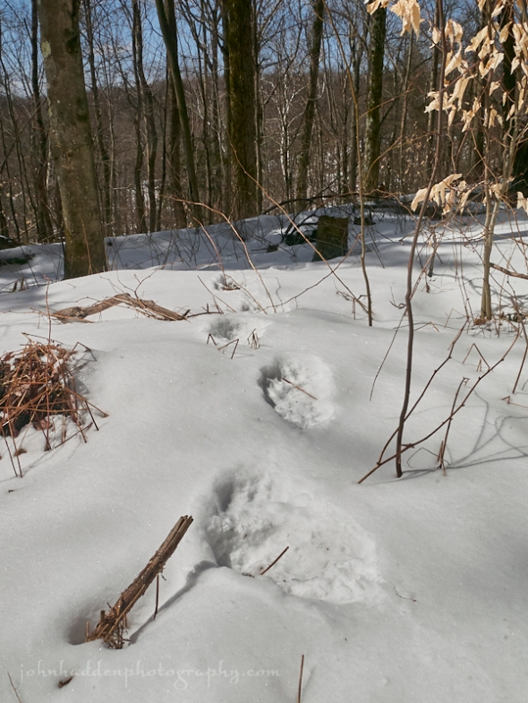 bear-tracks