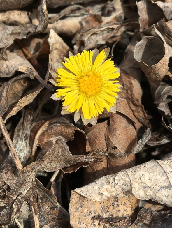 coltsfoot-4-12-18