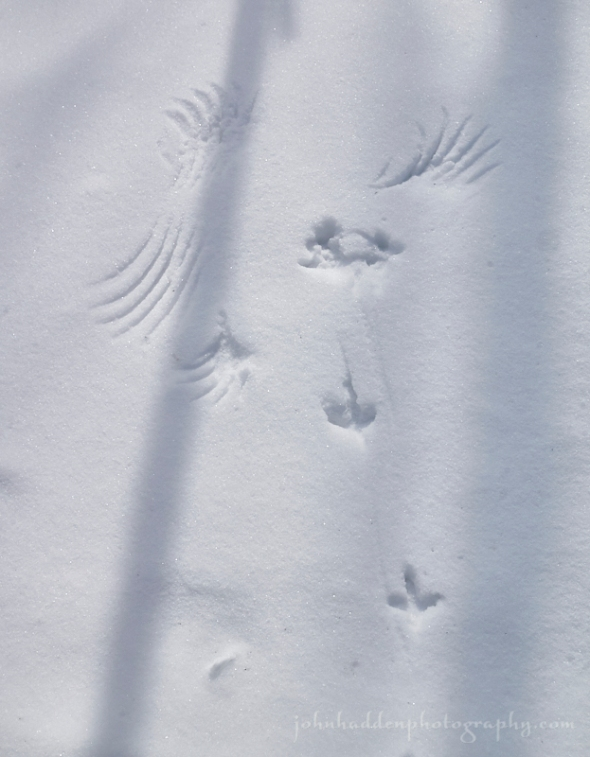 grouse-tracks-wings