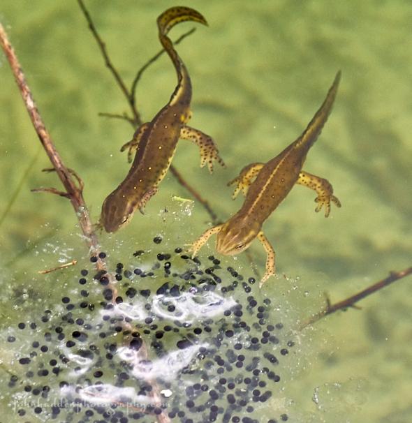 newts-frog-eggs