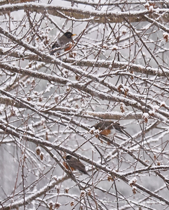 robins-in-snow