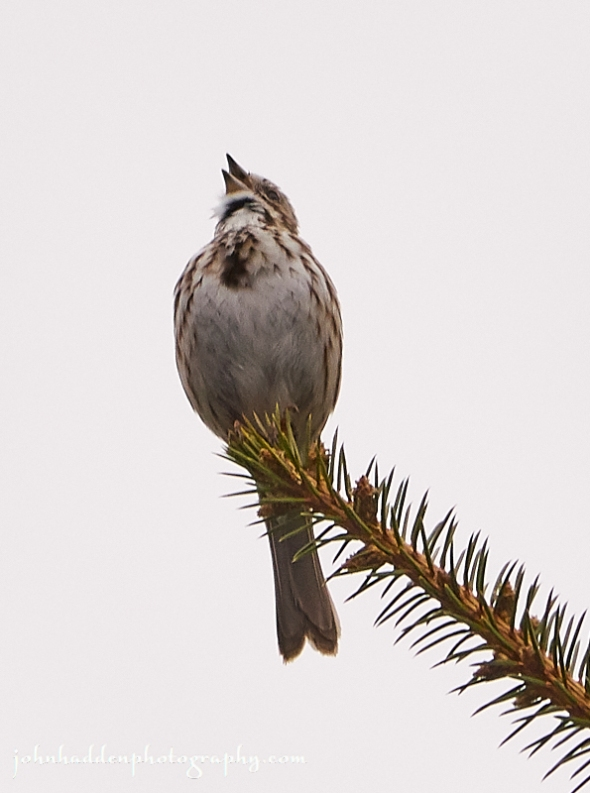 song-sparrow-singing