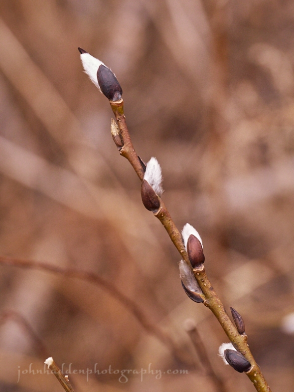 willow-buds