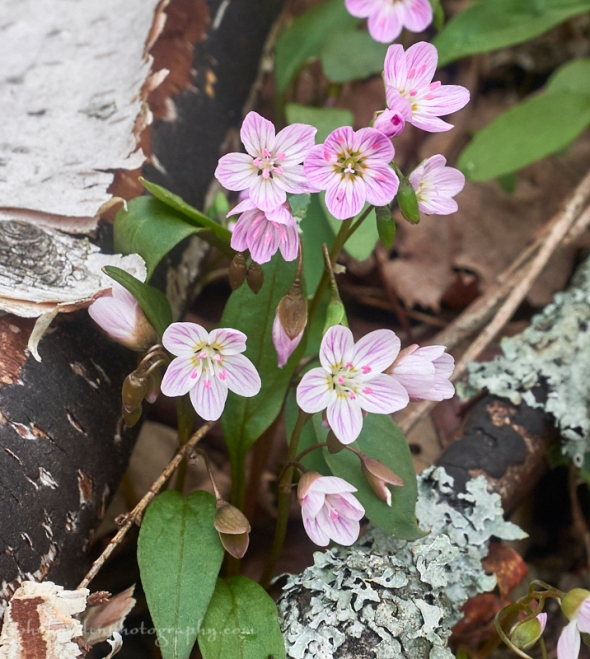 spring-beauties-18