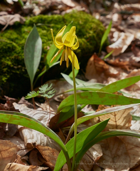 trout-lily