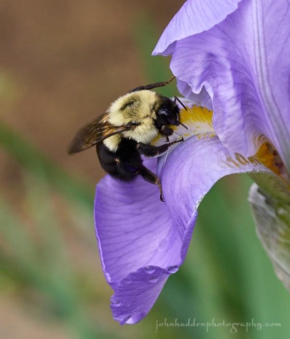 bumble-iris